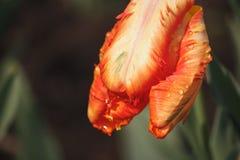 De lentetulp met waterdruppeltjes Royalty-vrije Stock Afbeeldingen