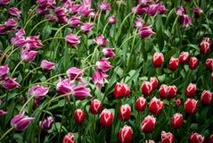 De lentetulpen Royalty-vrije Stock Foto