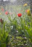 De lentetulpen Royalty-vrije Stock Fotografie