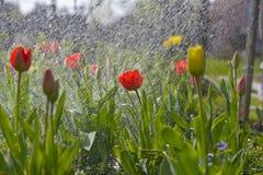 De lentetulpen Royalty-vrije Stock Afbeeldingen