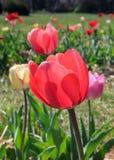 De lentetulpen Stock Afbeeldingen
