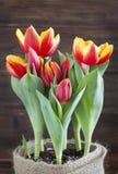 De lentetulpen in pot. royalty-vrije stock foto