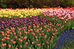 De lentetulpen in volledige bloei Stock Foto's