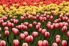De lentetulpen in volledige bloei Royalty-vrije Stock Fotografie