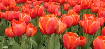 De lentetulpen in volledige bloei Stock Afbeelding