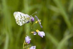 De lentevlinder en bloemen Stock Fotografie
