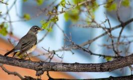 De lentevogel Stock Afbeeldingen