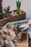 de lentevoorbereidingen thuis Het planten van de bollen van hyacintbloemen Het tuinieren hobby royalty-vrije stock afbeeldingen