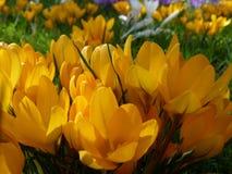 De lenteweide met gele bloeiende krokussen stock afbeelding
