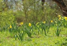 De lenteweide met gele gele narcissen Stock Afbeelding