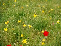 De lenteweide met gele rode bloemen stock fotografie