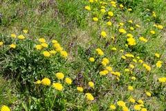 De lenteweide met paardebloemen Royalty-vrije Stock Afbeeldingen