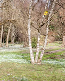 De lenteweide met sneeuwklokjes en berk royalty-vrije stock afbeelding