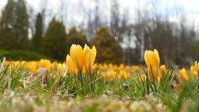 De lenteweide van krokussen stock afbeeldingen