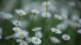 De lentewind die de tuinmadeliefjes beweegt stock footage