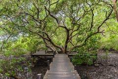 De Leren riem van de mangroven inTung Riek of Gouden Mangrovegebied bij Estuarium Stock Fotografie