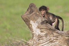 De leuke babybaviaan zit op boomstomp om te spelen stock afbeelding