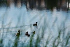 De leuke babys van de eendjeseend na moeder in een rij, meer, s Royalty-vrije Stock Foto