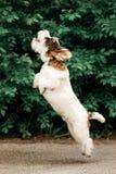 de leuke Basset sprong van Griffon op grond groen op achtergrond stock foto's