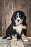 De leuke Bernese-Hond van het Bergpuppy royalty-vrije stock foto's