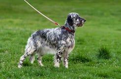 De leuke blauwe hond van de belton Engelse Zetter in een de lente bloeiende weide stock afbeelding