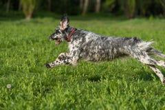 De leuke blauwe hond van de belton Engelse Zetter stelt kruis op een weide in werking stock fotografie