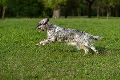 De leuke blauwe hond van de belton Engelse Zetter stelt kruis op een weide in werking stock afbeelding