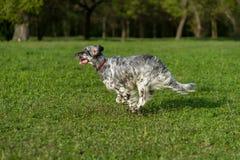 De leuke blauwe hond van de belton Engelse Zetter stelt kruis op een weide in werking stock foto's