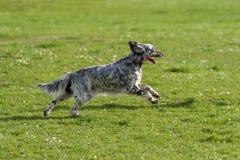 De leuke blauwe hond van de belton Engelse Zetter stelt kruis op een weide in werking stock afbeeldingen