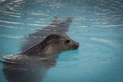 De leuke bontverbinding zwemt in het turkooise poolwater royalty-vrije stock afbeelding