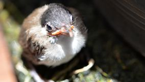 De leuke bulbul close-up rood-Met bakkebaarden van de babyvogel stock foto