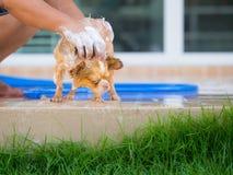De leuke chihuahuahond neemt thuis een bad Stock Foto