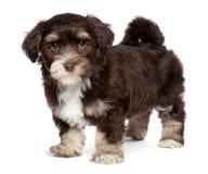 De leuke donkere hond van het chocholate havanese puppy bevindt zich Royalty-vrije Stock Afbeeldingen