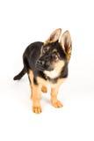 De leuke Duitse die herder van de puppyhond op wit wordt geïsoleerd Royalty-vrije Stock Foto