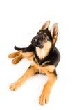 De leuke Duitse herder die van de puppyhond omhoog kijken Stock Afbeelding
