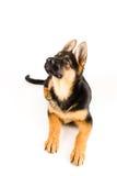 De leuke Duitse herder die van de puppyhond omhoog kijken Royalty-vrije Stock Fotografie