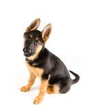 De leuke Duitse herder van de puppyhond Royalty-vrije Stock Afbeelding