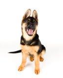 De leuke Duitse herder van de puppyhond Royalty-vrije Stock Fotografie