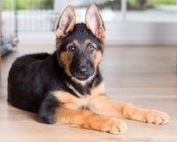 De leuke Duitse herder van de puppyhond op houten vloer Stock Foto