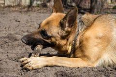 De leuke Duitse herdersherdershond knaagt aan houten stok Bruine herdershond in park Jong roofdierconcept De hond van het politie stock afbeelding