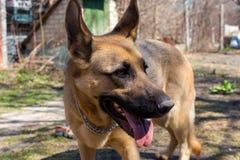 De leuke Duitse herdersherdershond met grote tong die zich in mooi bevinden stelt Bruine herdershond in park De hond van het poli stock afbeeldingen