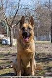 De leuke Duitse zitting van de herdersherdershond in mooi stelt Bruine herdershond in park Jong roofdierconcept De hond van het p stock fotografie
