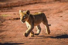 De leuke en aanbiddelijke bruine leeuw werpt het lopen en het spelen in een spelreserve in Johannesburg Zuid-Afrika royalty-vrije stock afbeeldingen