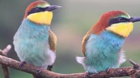 De leuke exotische gekleurde vogels zitten op een tak stock video