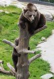 De leuke familie van bruine beermoeder draagt en zijn babywelp het spelen op een en boomboomstam die beklimmen bijten Ursusarctos royalty-vrije stock foto's