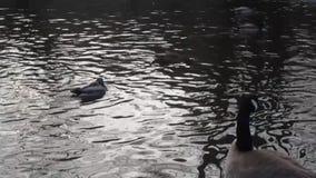De leuke gans van de wintercanada en vele wilde eendeenden bij een vijver stock footage