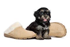 De leuke gelukkige havanese puppyhond zit naast pantoffels Stock Afbeelding