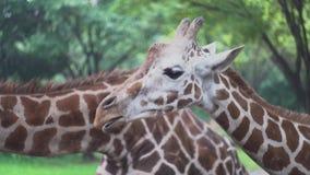 De leuke giraf kauwt voedsel bij dierentuin media De mooie giraf met genoegen kauwt voedsel op achtergrond van groene vegetatiedi stock footage