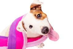 De leuke grappige terriër die van hefboomRussell een sjaal draagt stock afbeelding