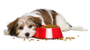 De leuke Havanese-puppyhond ligt naast een rode kom hondevoer